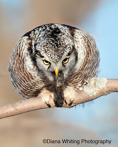 Northern Hawk Owl Coughing Up Pellet