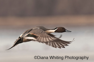 Pintail Flight
