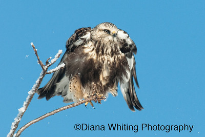 Rough Legged Hawk 3