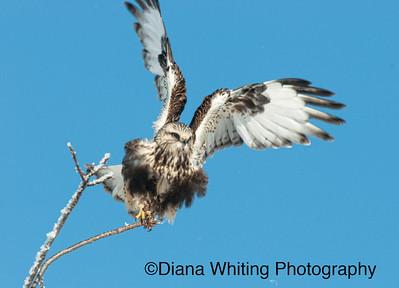Roufh Legged Hawk Take Off