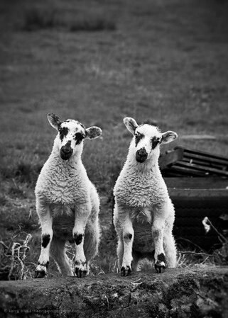 Lambs near Hadrian's Wall
