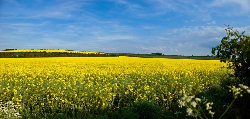 Field of rapeseed in western England