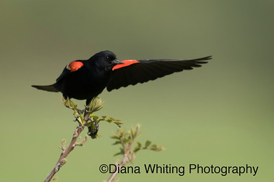 Beautiful Red-winged Blackbird About to Fly