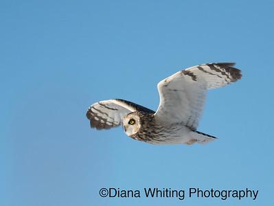 Short-eared Owl in Flight With Beautiful Evening Light