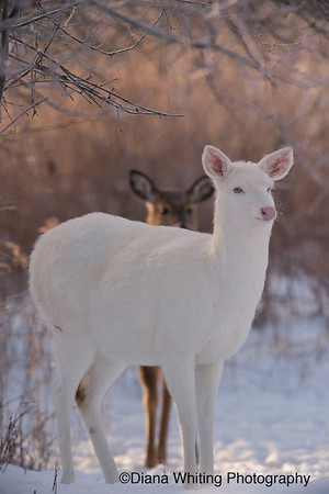 Leucistic Doe with Last Year's Fawn