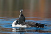 Loon Pulling Feathers