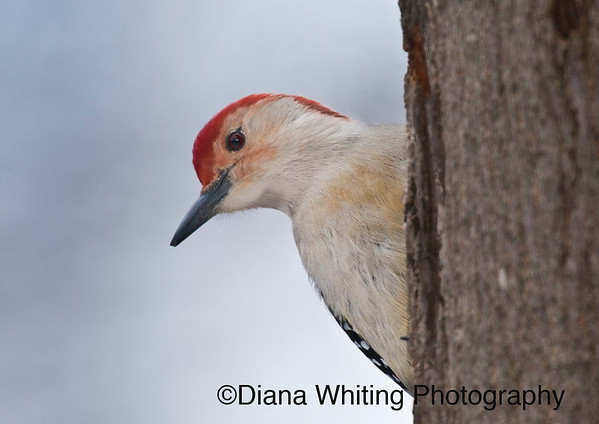 Red-bellied Woodpecker Male  This is another shy one. His head was absolutely brilliant.