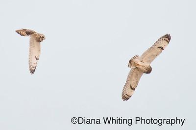 Short-eared Owl Interaction_DSC7185 copy