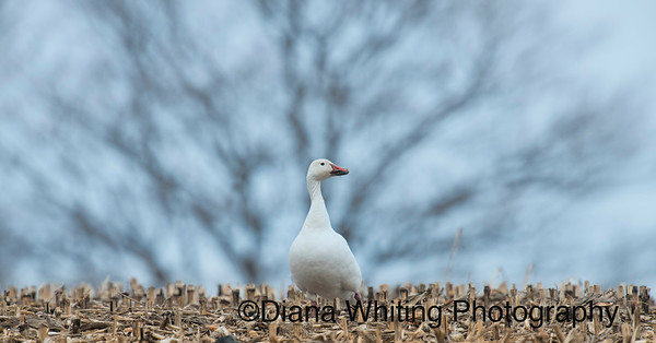Snow Goose_DSC6246 copy