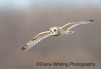 Short-eard Owl Flight_DSC7303 copy