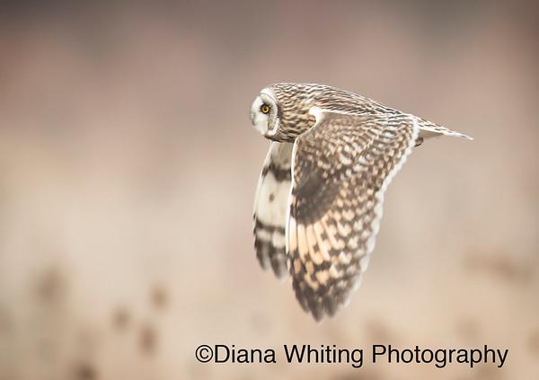 Short-eared Owl_DSC7304 copy 2