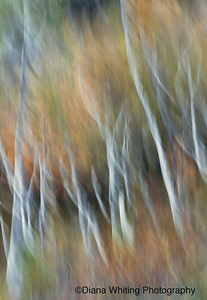 Birch Dreams DEW_4180