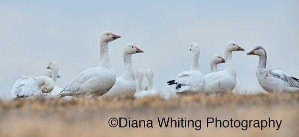 _DSC5328 march 11 2013 Snow Geese