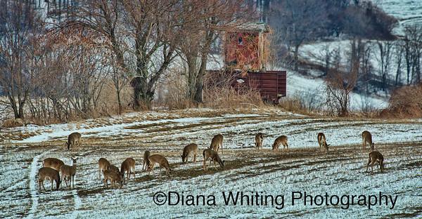 Deer Yard_DSC5897 copy 2