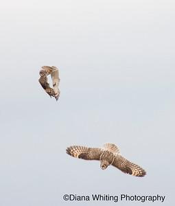 Wing Clapping Short-eared Owls_DSC7195 copy