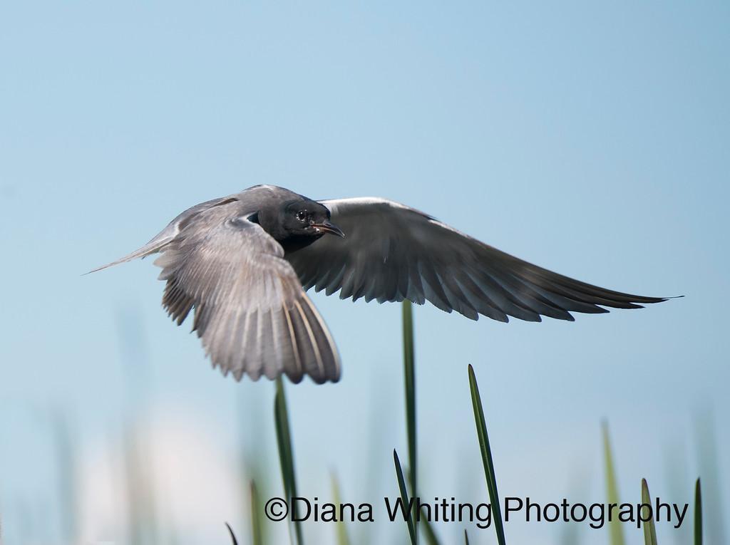 Black Tern Flight