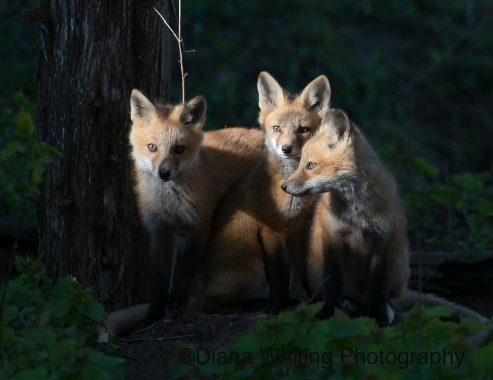 Fox Kit Trio