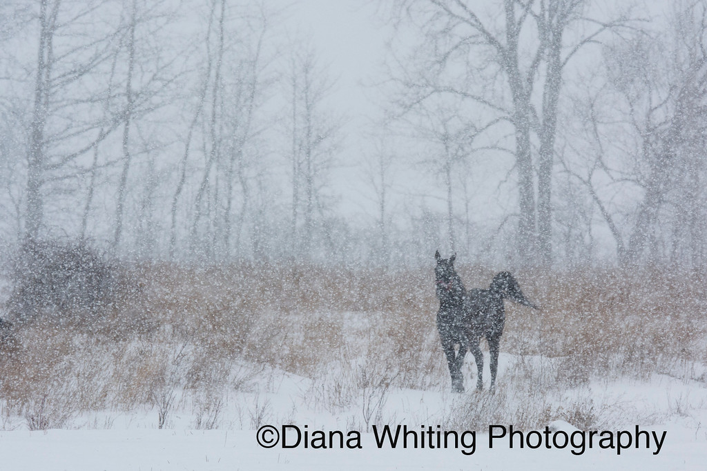 Horse in the Snow Storm