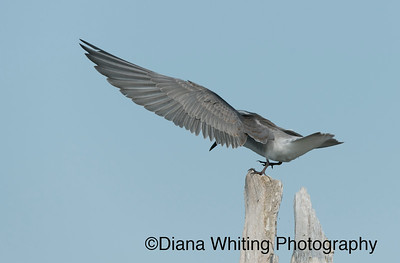 Black Tern Take Off