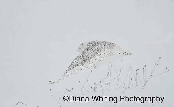 Snowy Owl Flying in Snow Storm