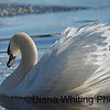 Mute Swan Backlit Feathers