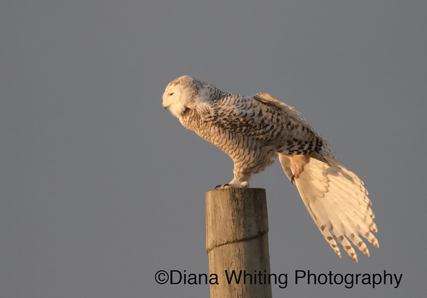 Snowy Owl Stretching Her Wings In Sunset Lighting