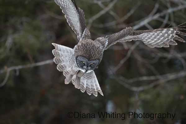 Great Gray Owl Hovering Over Prey