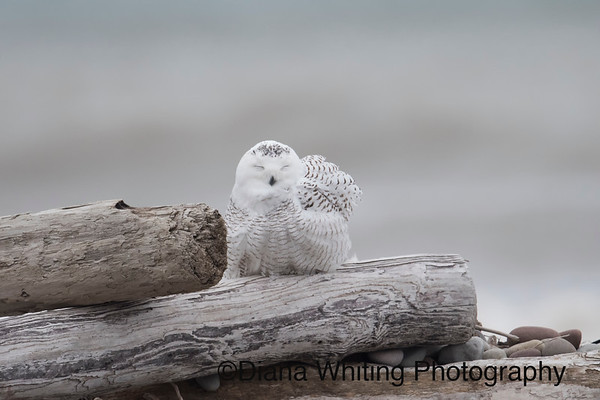 Snowy Owl Napping Natural Setting