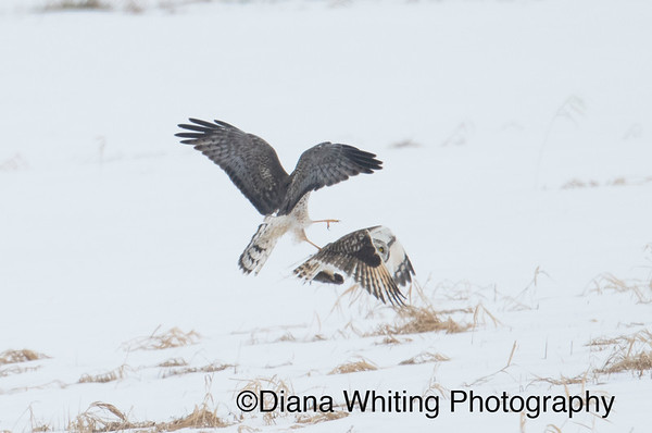 Short-eared Owl and Northern Harrier Scuffle