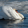 Mute Swan Displaying