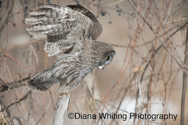 Great Gray Owl Getting Ready to Fly