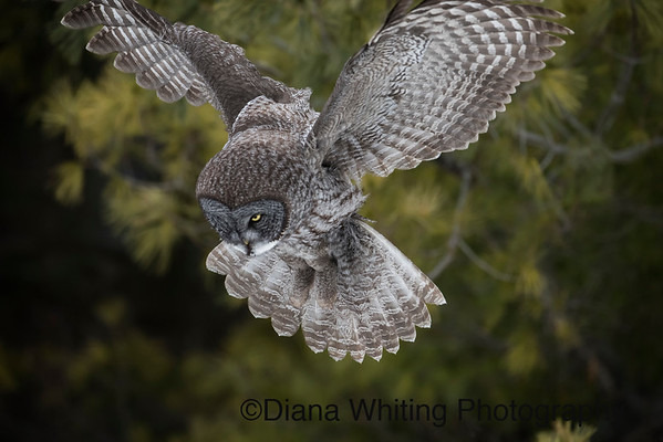 Great Gray Owl Hovering Above Prey