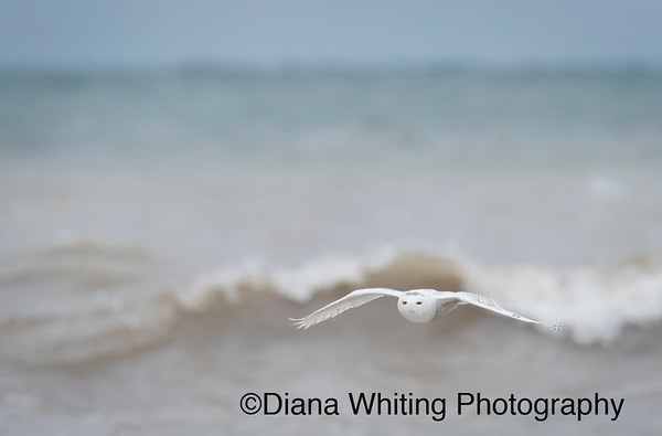 Snowy Owl Flying Over Lake Ontario