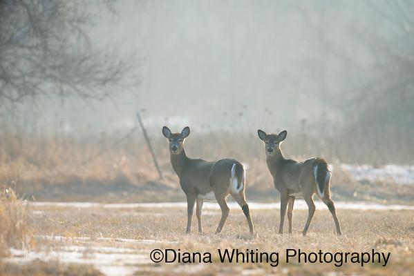 Two Deer In Back light
