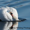 Mute Swan Territorial Display