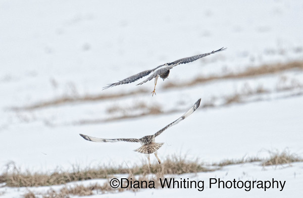 Northern Harrier  Stealing Prey From Short-eared Owl