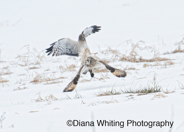 Northern Harrier Goes in For the Steal From A Short-eared Owl