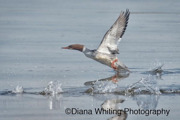 Common Merganser Flight