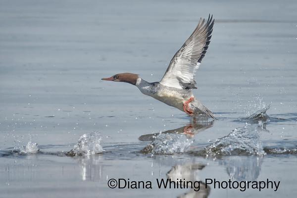 Common Merganser Flight