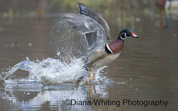 Male Wood Duck Taking Off From the Water
