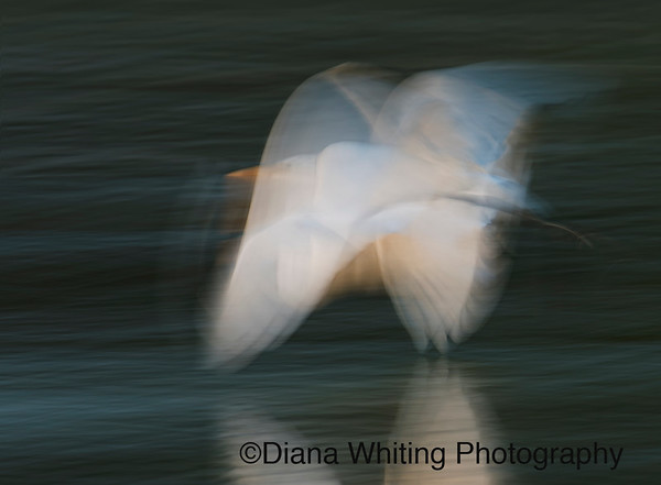 Abstract Great Egret in Flight