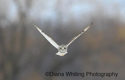 Short-eared Owl Direct Flight, Not Baited