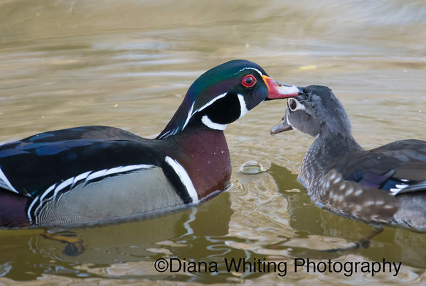Male Wood Duck in Mating Behavior