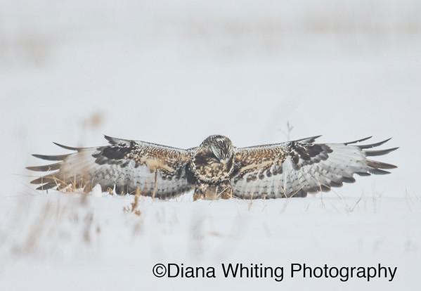 Rough-legged Hawk On Prey
