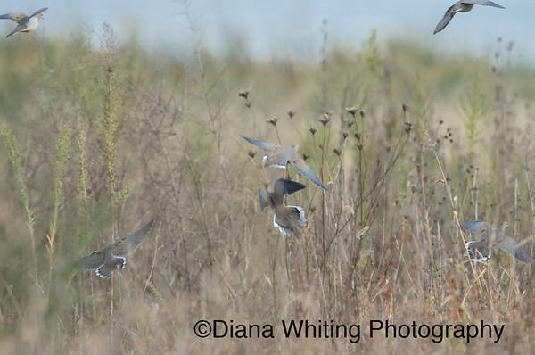 Mourning Doves Taking Flight