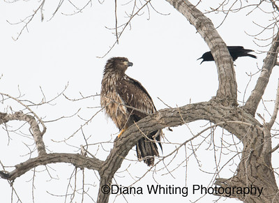 Juvenile Eagle Harrassed by Crow