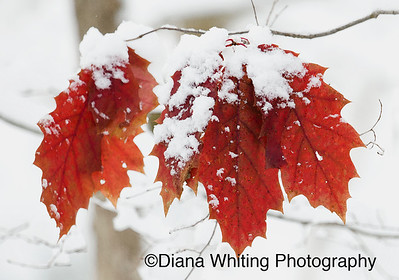 Oak Leaves in Snow