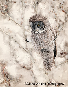 Great Gray Owl Watercolor