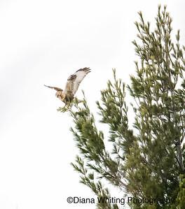 Rough-leggged Hawk Landing on Tiny Branch