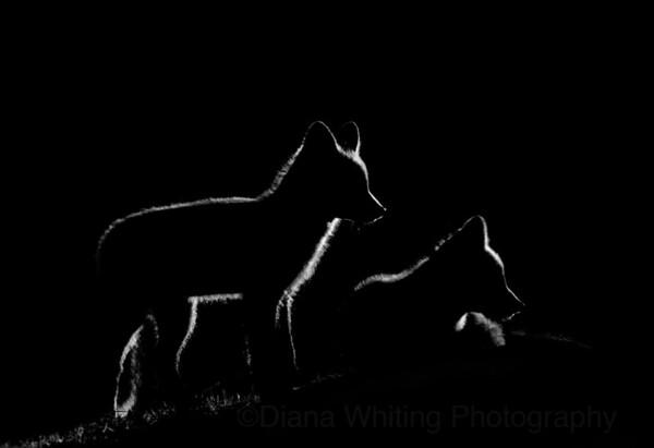 Backlit fox Kits